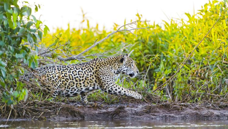 A jaguar stalking prey.